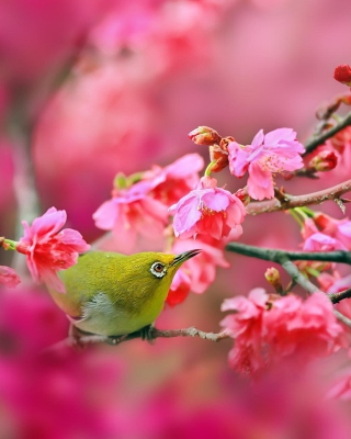 Birds and Cherry Blossom - Obrázkek zdarma pro Nokia X7