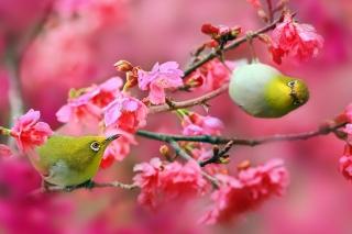 Birds and Cherry Blossom - Obrázkek zdarma pro 1152x864