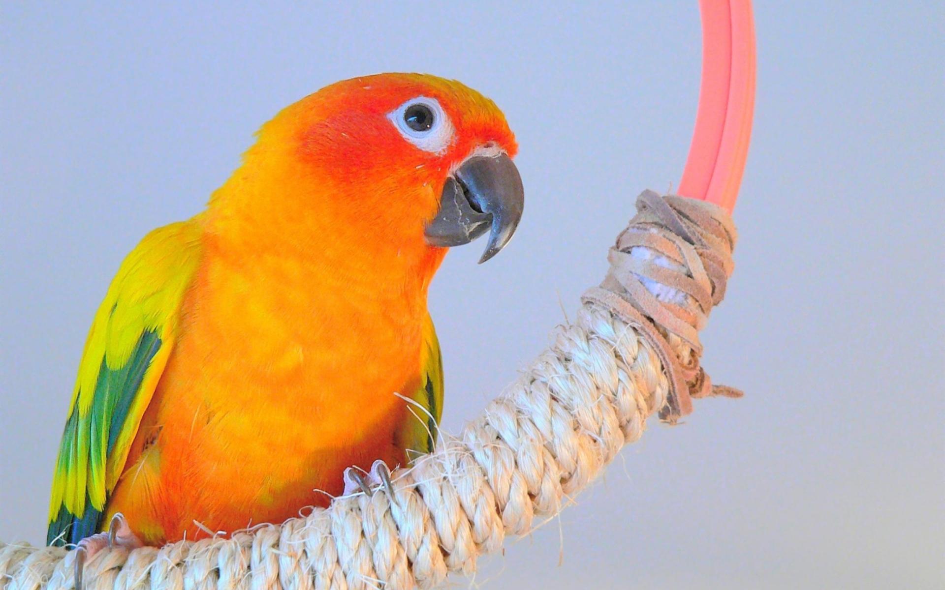 Beautiful Orange Parrots Hd wallpaper 1920x1200