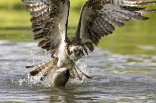 Free Hawk With Fish Picture for Android, iPhone and iPad