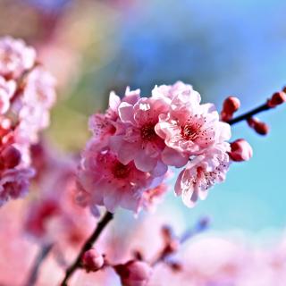Spring Cherry Blossom Tree - Obrázkek zdarma pro 208x208