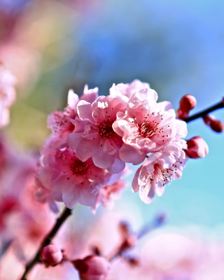 Spring Cherry Blossom Tree - Obrázkek zdarma pro Nokia Asha 501