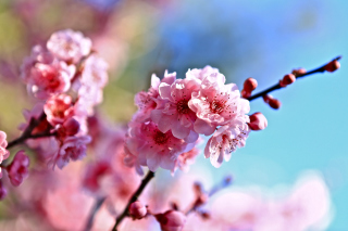 Free Spring Cherry Blossom Tree Picture for Android, iPhone and iPad