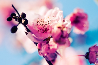 Beautiful Cherry Blossom Background for Android, iPhone and iPad