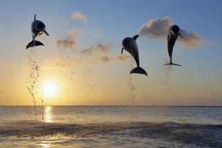 Dolphins Jumping - Obrázkek zdarma pro Fullscreen Desktop 1600x1200
