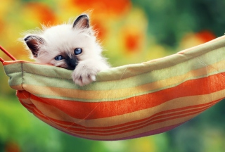 Super Cute Little Siamese Kitten - Obrázkek zdarma pro Widescreen Desktop PC 1920x1080 Full HD
