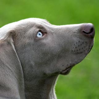 Weimaraner Puppy - Obrázkek zdarma pro 208x208