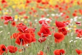 Poppies In Nature Picture for Android, iPhone and iPad