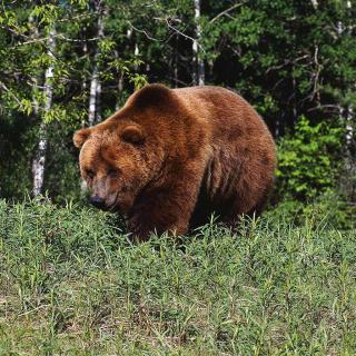 Brown Bear - Obrázkek zdarma pro 2048x2048