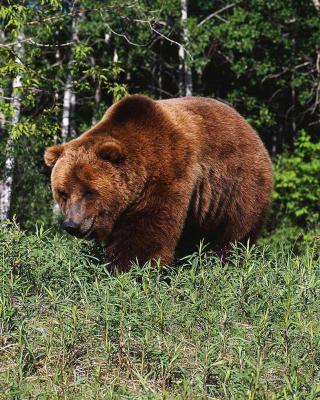 Brown Bear - Obrázkek zdarma pro Nokia 300 Asha