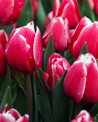 Red Tulips - Fondos de pantalla gratis para Huawei G7300