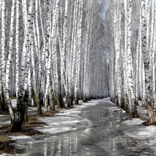 Birch forest in autumn - Obrázkek zdarma pro iPad Air