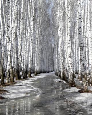 Birch forest in autumn - Obrázkek zdarma pro 352x416