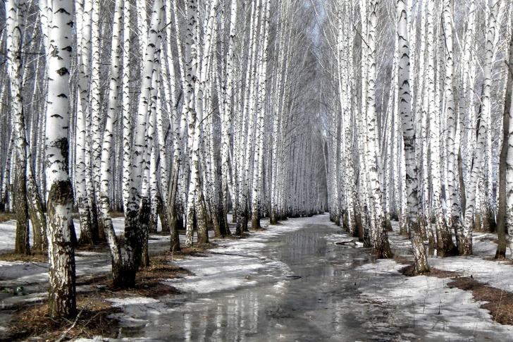 Birch forest in autumn wallpaper