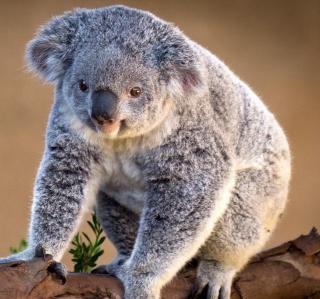 Koala Bear - Obrázkek zdarma pro 208x208