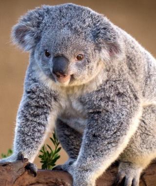 Koala Bear - Obrázkek zdarma pro Nokia C5-05