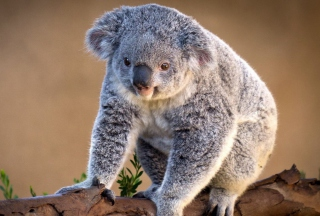 Koala Bear - Obrázkek zdarma pro 220x176