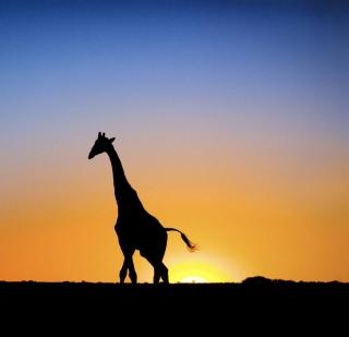 Safari At Sunset - Giraffe's Silhouette - Obrázkek zdarma pro 208x208