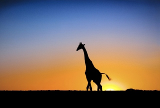 Safari At Sunset - Giraffe's Silhouette - Obrázkek zdarma pro Widescreen Desktop PC 1920x1080 Full HD