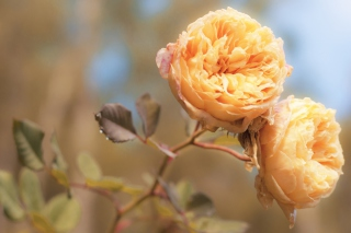 Peach Roses Picture for Android, iPhone and iPad