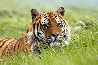 Wild Siberian Tiger Picture for Android, iPhone and iPad