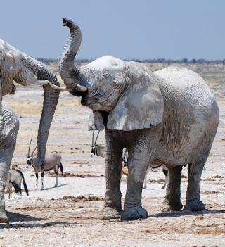 Elephants - Obrázkek zdarma pro 2048x2048
