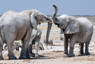 Elephants - Obrázkek zdarma pro Samsung Galaxy S II 4G