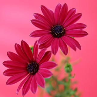 Beauty Gerbera - Obrázkek zdarma pro 128x128