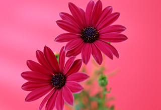 Beauty Gerbera Picture for Android, iPhone and iPad