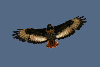 Free Jackal Buzzard Picture for Android, iPhone and iPad