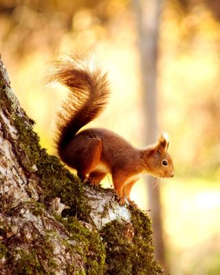 Squirrel - Obrázkek zdarma pro Nokia Lumia 1020