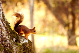 Squirrel - Obrázkek zdarma pro Desktop Netbook 1024x600