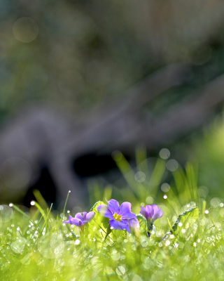 Grass and lilac flower - Obrázkek zdarma pro Nokia Asha 305