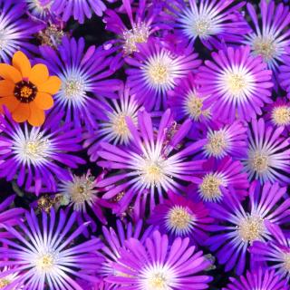 Purple Colour Flowers - Obrázkek zdarma pro iPad 3