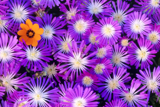 Purple Colour Flowers - Fondos de pantalla gratis para Blackberry RIM Curve 9360