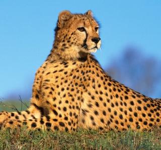 Fast Predator Cheetah - Obrázkek zdarma pro iPad mini