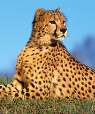 Fast Predator Cheetah - Obrázkek zdarma pro Nokia 5233