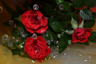 Drops on roses Background for Android, iPhone and iPad