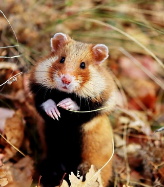 Cute Hamster - Obrázkek zdarma pro 352x416