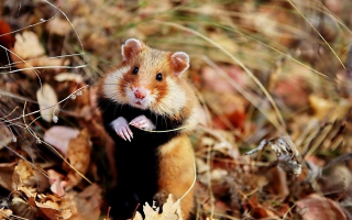 Cute Hamster - Obrázkek zdarma pro LG P500 Optimus One