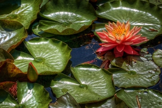 Amazing Water Lilly Background for Android, iPhone and iPad