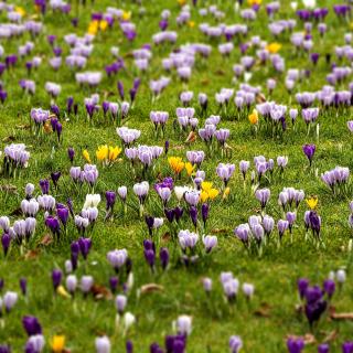 Crocuses and Spring Meadow - Obrázkek zdarma pro iPad