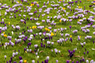 Crocuses and Spring Meadow - Obrázkek zdarma