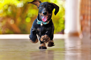 Crazy Dachshund Picture for Android, iPhone and iPad