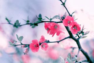 Pink Spring Flowers - Obrázkek zdarma pro Nokia Asha 200