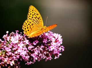 Butterfly On Lilac - Obrázkek zdarma pro 480x320