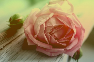 Peach Rose Wallpaper for Android, iPhone and iPad
