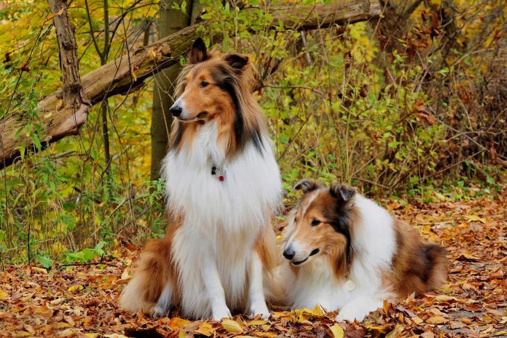 Collie dogs in village wallpaper