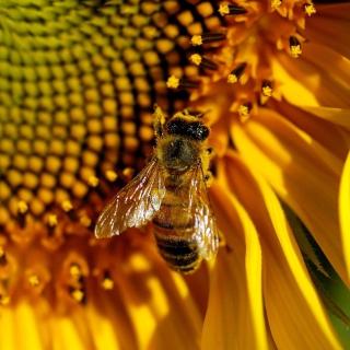 Bee On Sunflower - Obrázkek zdarma pro 1024x1024