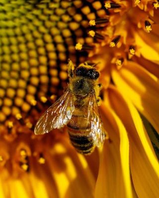 Bee On Sunflower - Obrázkek zdarma pro iPhone 5C